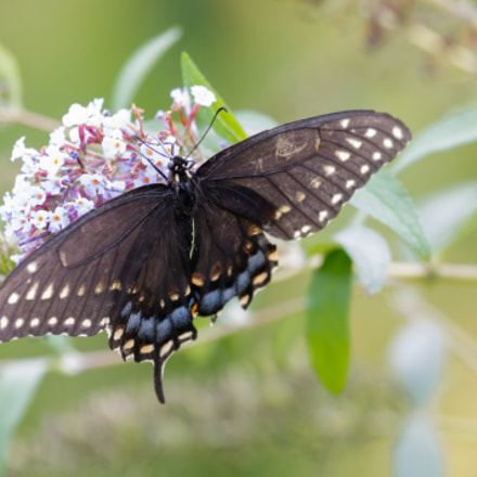 Eastern Tiger Swallowtail, Canon EOS REBEL T3, Canon EF 100-400mm f/4.5-5.6L IS