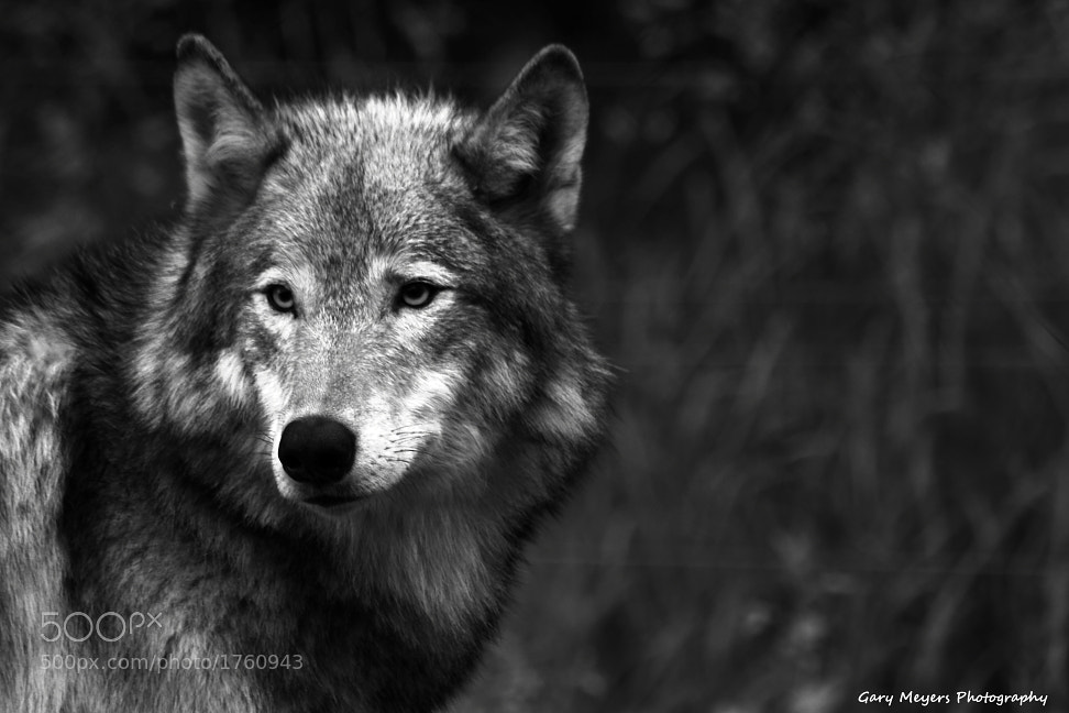 Photograph Gray Wolf by Gary Meyers on 500px