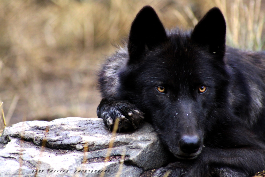 Photograph WOLF by Gary Meyers on 500px