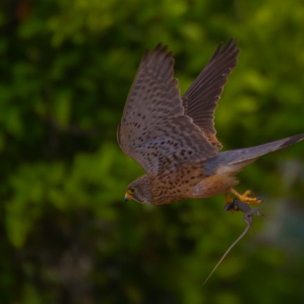 Kestrel with prey, Canon EOS 7D, Canon EF 70-300mm f/4.5-5.6 DO IS USM