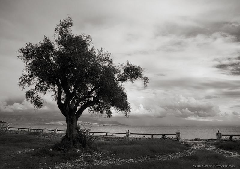 Photograph Olive Tree by Andreas Politis on 500px