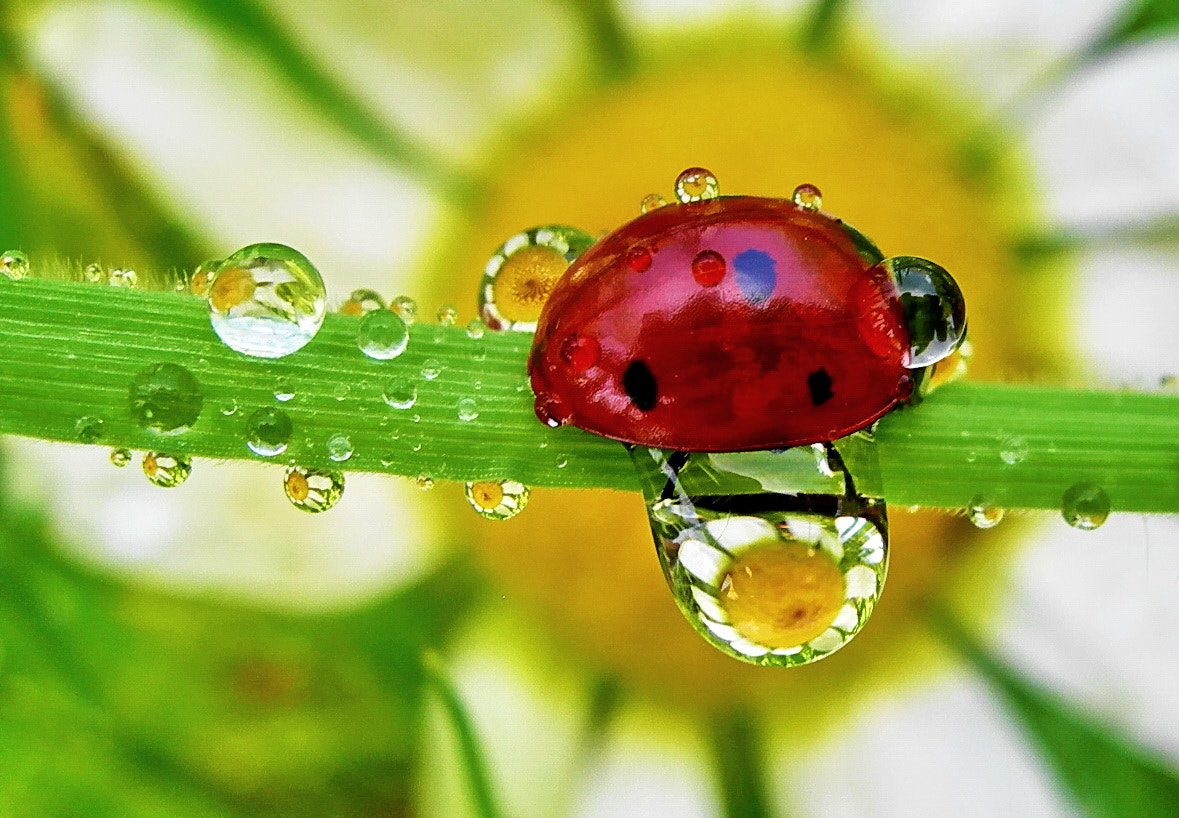Photograph lady bug and dew drops by tugba kiper on 500px