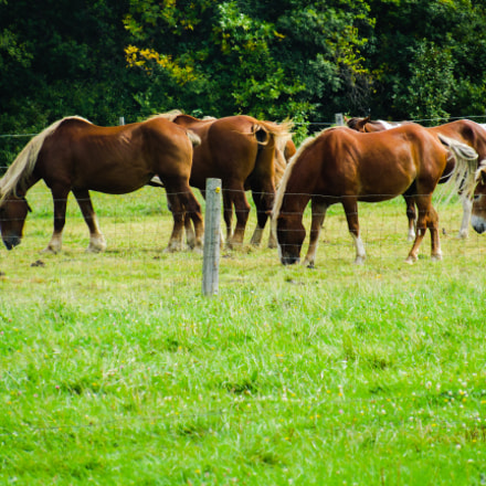 Grazing horses and mule, Canon POWERSHOT SX530 HS