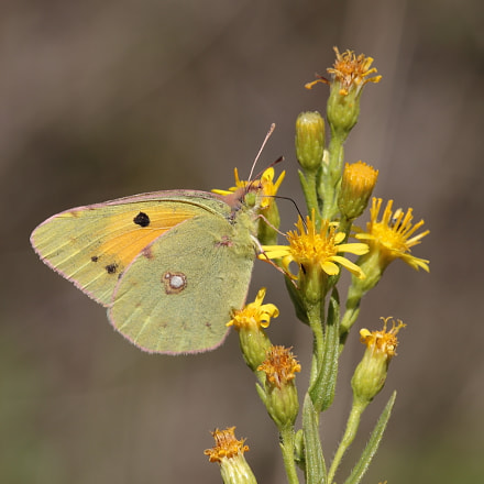 Clouded Yellow, Canon EOS 70D, Tamron SP AF 180mm f/3.5 Di Macro