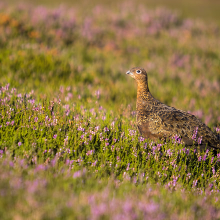 Red Grouse profile, Olympus E-M5MarkII, SIGMA 50-500mm F4-6.3 DG HSM