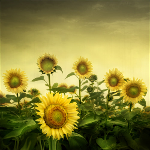 Photograph Sunflowers by Ilina Simeonova on 500px