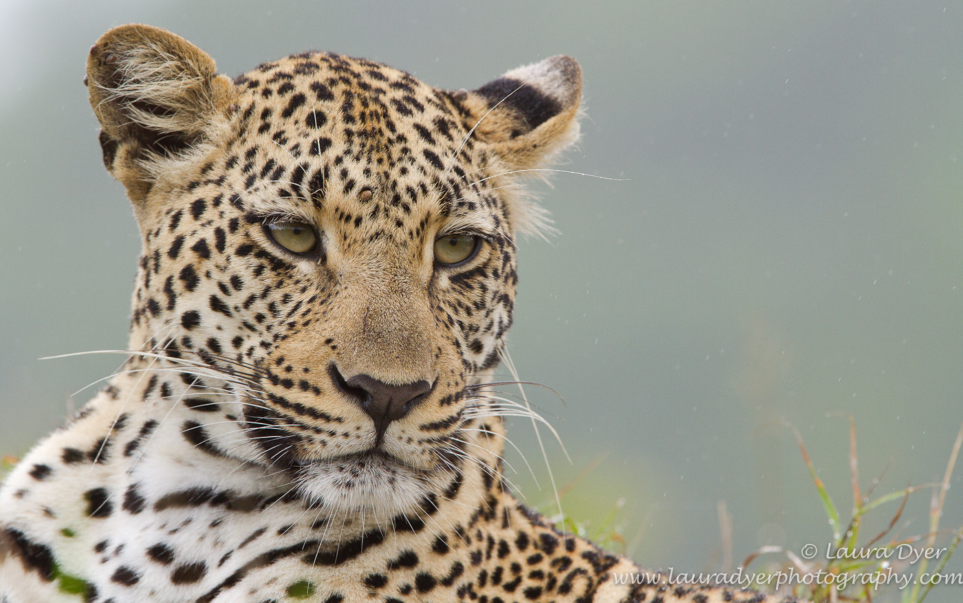 Photograph Misty leopard by Laura Dyer on 500px