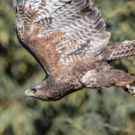 Flying buzzard, Canon EOS 6D, Canon EF 70-300mm f/4-5.6 IS USM