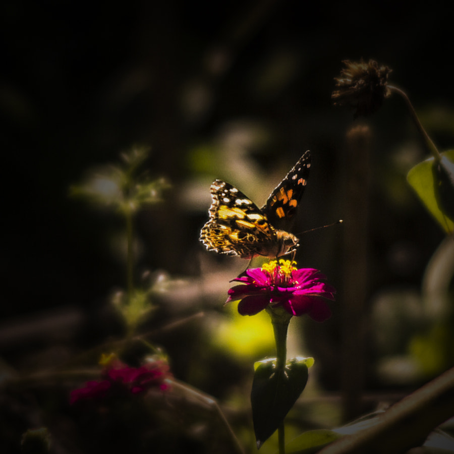 Painted Lady by Jeff Carter on 500px.com