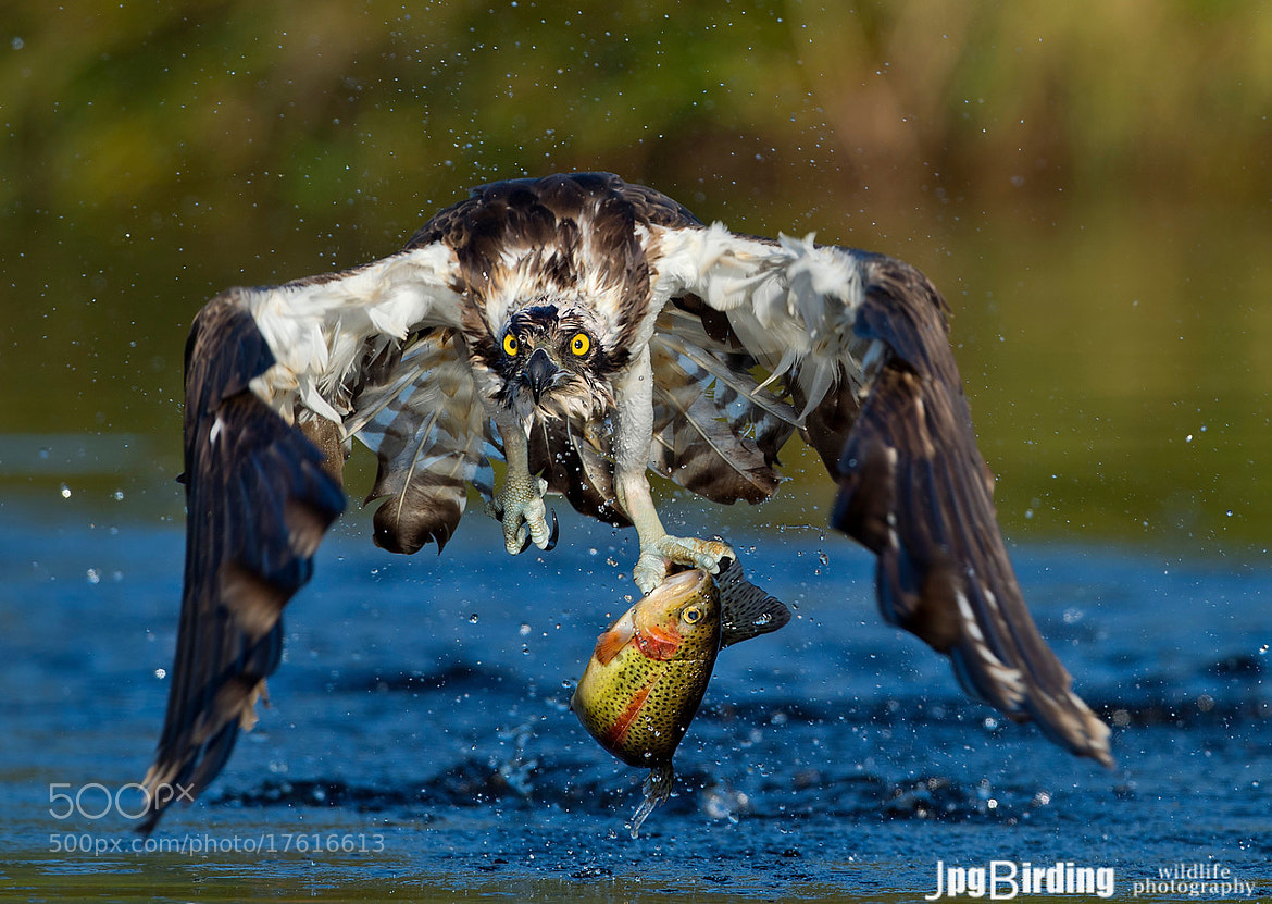 Photograph Osprey series.... coming!!!! by jose pesquero on 500px