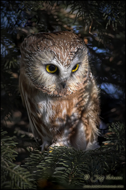 Photograph Northern Saw Whet Owl by Jody Melanson on 500px