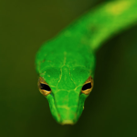 Green Snake, Canon EOS-1D X, EF100mm f/2.8L Macro IS USM