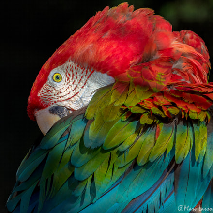 macaw, Canon EOS 7D MARK II, Canon EF 70-300mm f/4-5.6L IS USM