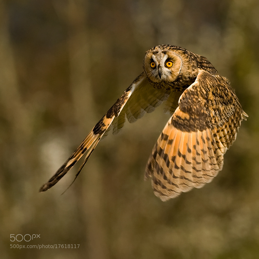 Photograph Eagle Owl by Luc Danneels on 500px