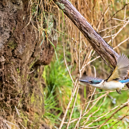 Sacred Kingfisher 43, Canon EOS 7D MARK II, Canon EF 300mm f/2.8L IS