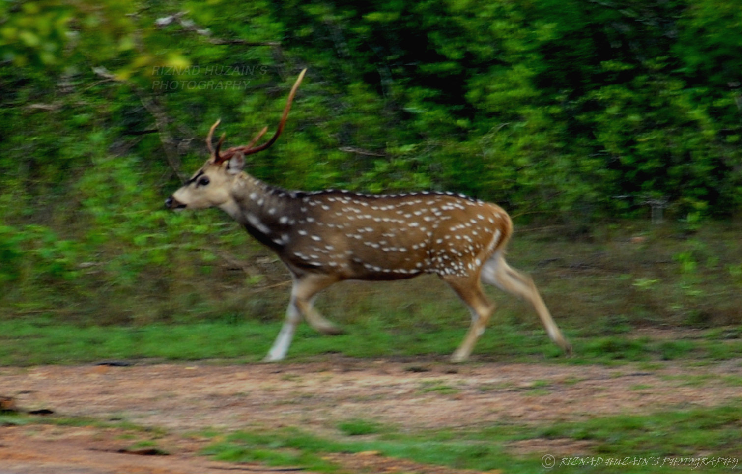 Photograph Spotted Deer by Riznad Huzain on 500px