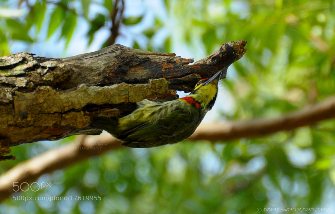 Photograph Coppersmith barbet by Riznad Huzain on 500px