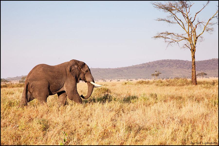 Elephants of Serengeti №13