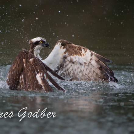 Fishing osprey Rutland, Leicestershire, Canon EOS-1D X, Canon EF 400mm f/2.8L