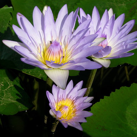 ID Blue Water Lily, Canon POWERSHOT A800