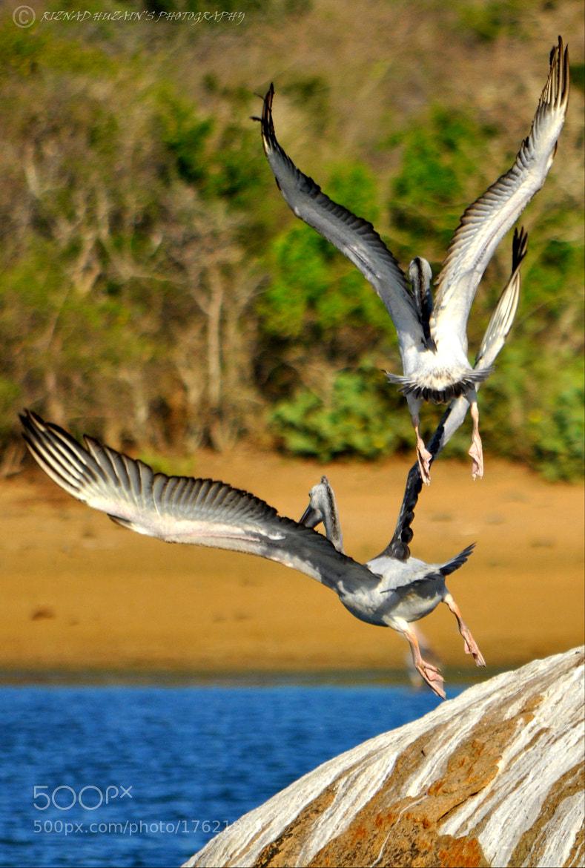 Photograph Spot-billed Pelican Pelicanus philippensis by Riznad Huzain on 500px