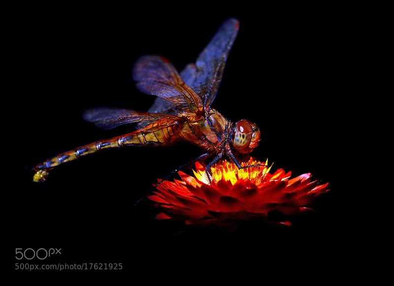 Photograph ...\\(O^O)//...Dragonfly.. by Bu Balus on 500px