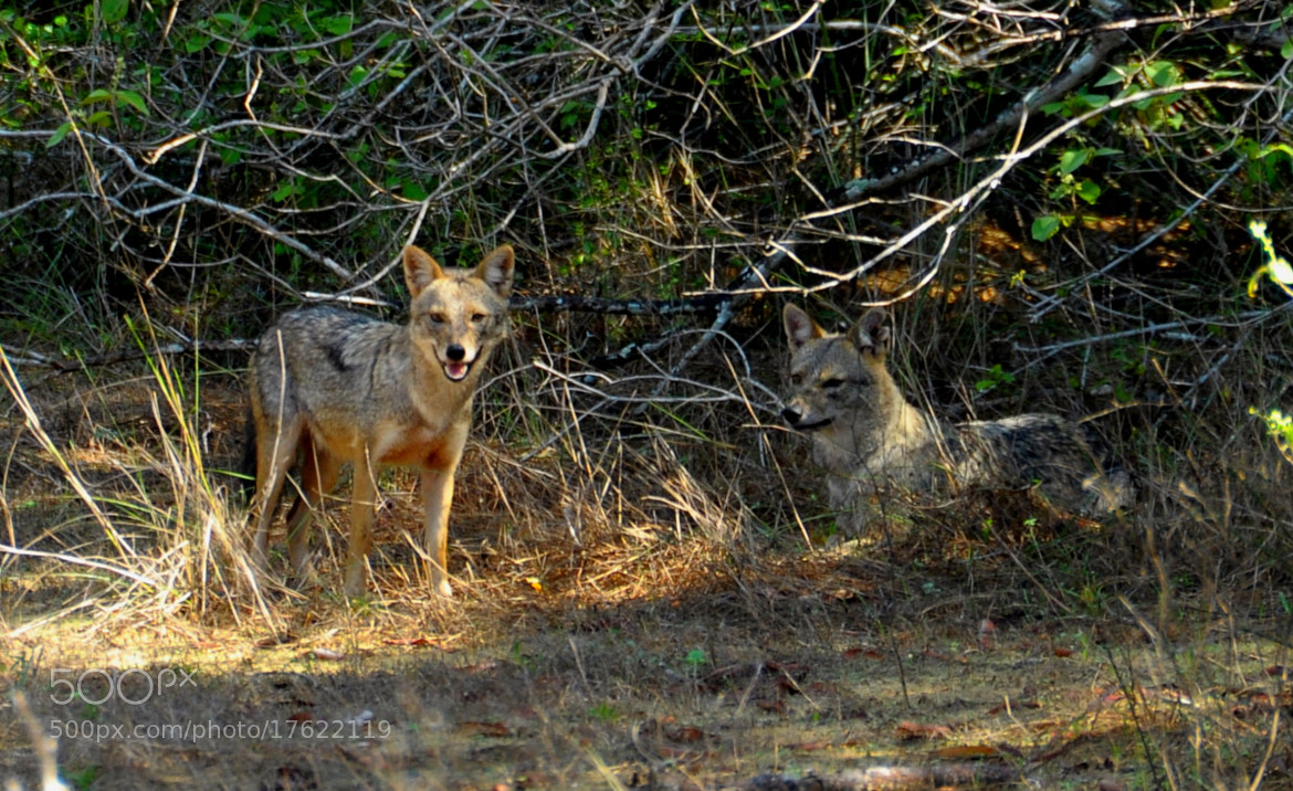 Photograph Jackal by Riznad Huzain on 500px