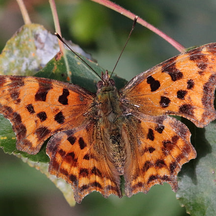 Comma butterfly, Canon EOS 70D, Tamron SP AF 180mm f/3.5 Di Macro