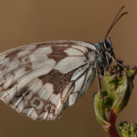 Marbled White, Canon EOS 70D, Tamron SP AF 180mm f/3.5 Di Macro
