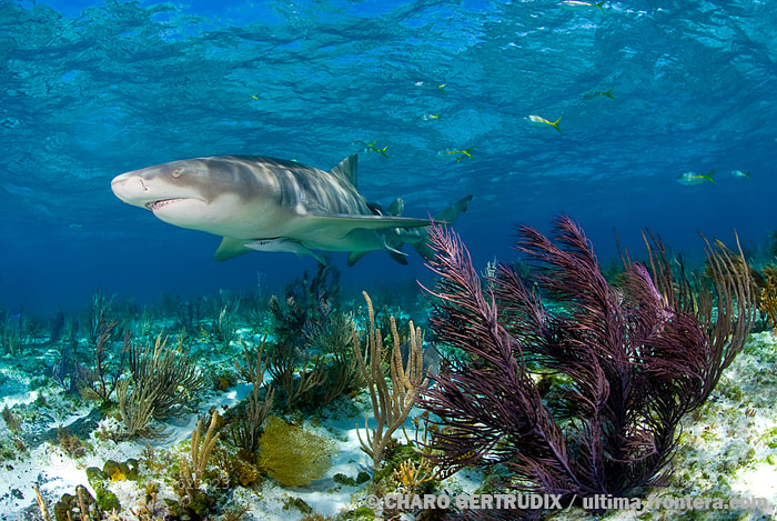 Photograph Lemon shark by Charo Gertrudix on 500px