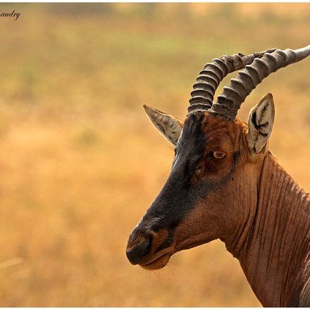 The Topi!, Canon EOS 7D MARK II, Canon EF 200-400mm f/4L IS USM