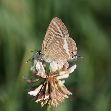 Long tailed Blue, Canon EOS 70D, Tamron SP AF 180mm f/3.5 Di Macro