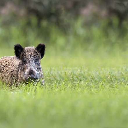 Wild boar in a, Canon EOS 5D MARK III, Canon EF 400mm f/2.8L IS II USM