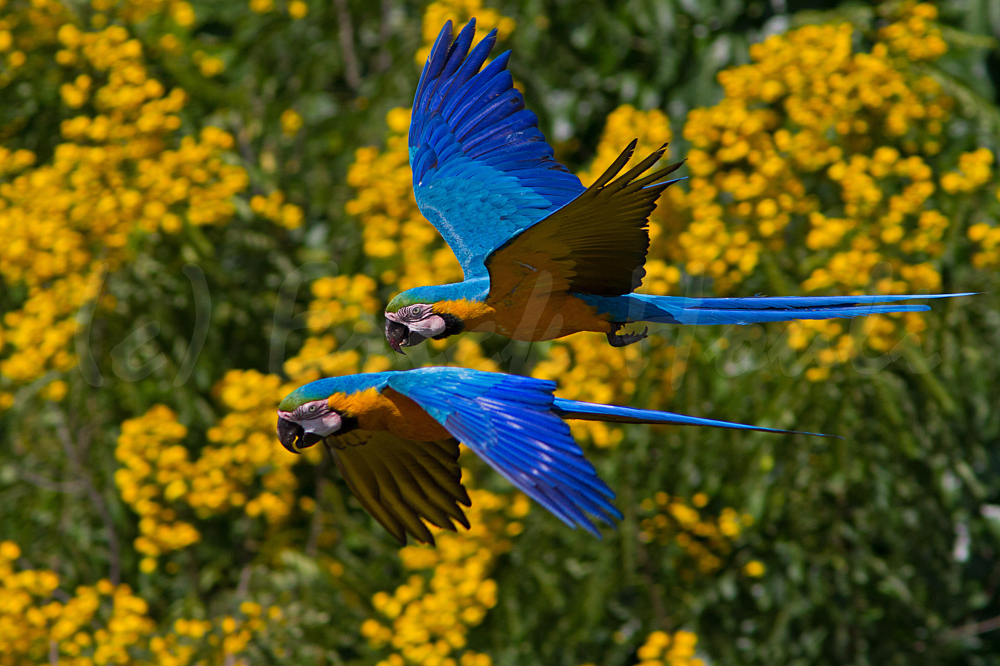 Photograph Blue and yellow macaws by Erick Houli on 500px