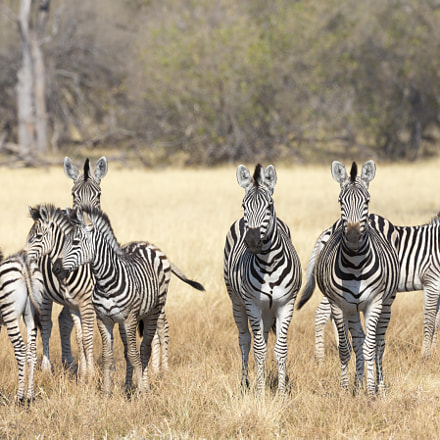 A Dazzle of Zebras, Canon EOS 5D MARK III, Canon EF 200-400mm f/4L IS USM