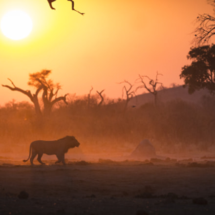 Lion against the sunrise, Canon EOS 5D MARK III, Canon EF 200-400mm f/4L IS USM