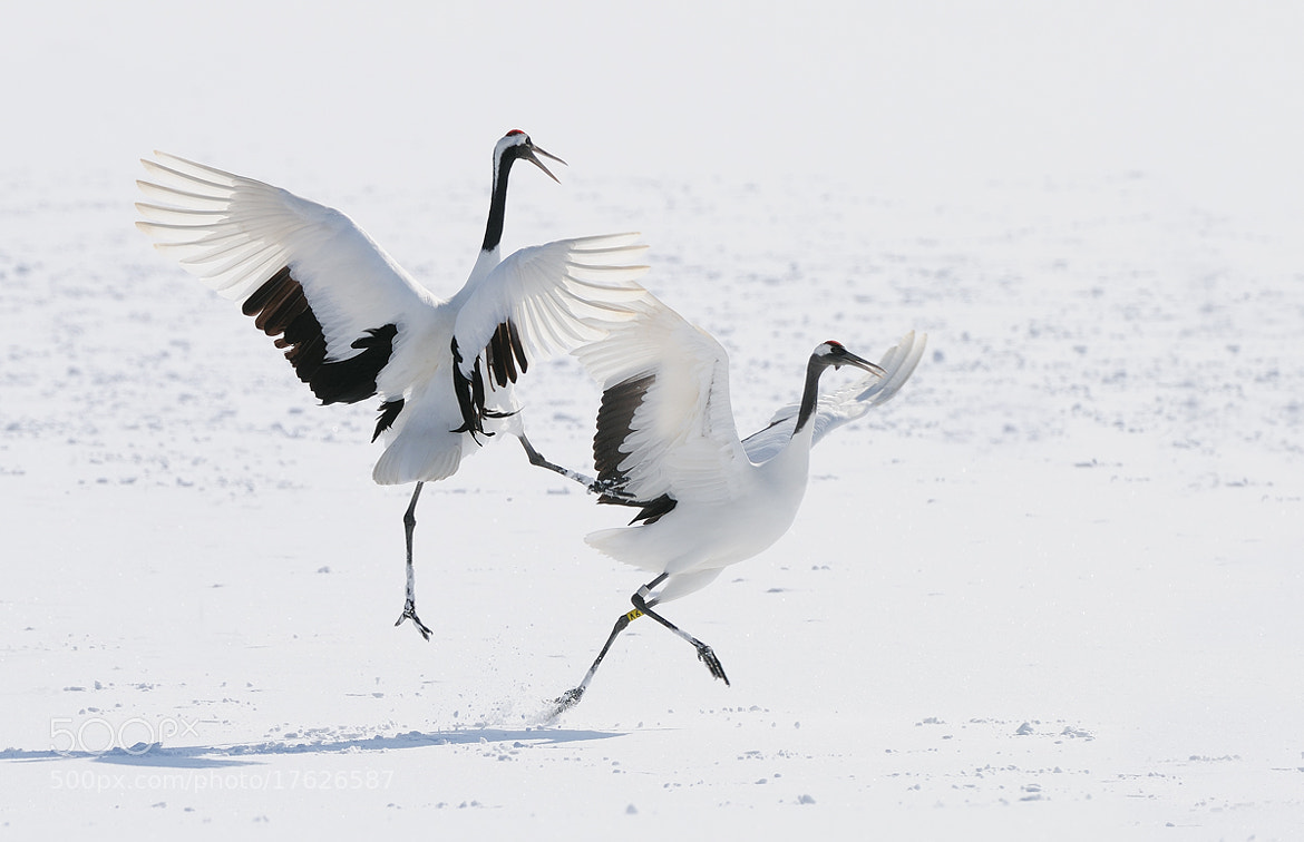 Photograph Red Crowned Karate Crane by Harry  Eggens on 500px