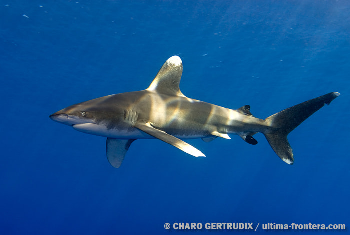 Photograph Whitetips oceanic by Charo Gertrudix on 500px