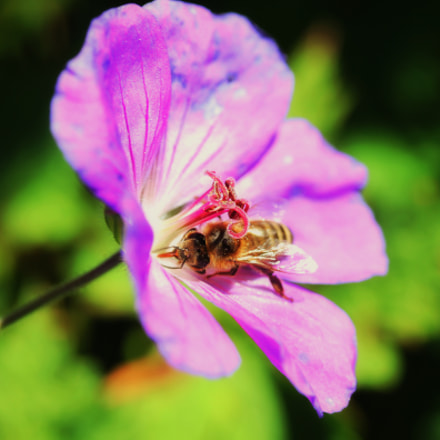 Busy bee., Canon EOS 500D, Canon EF-S 60mm f/2.8 Macro USM