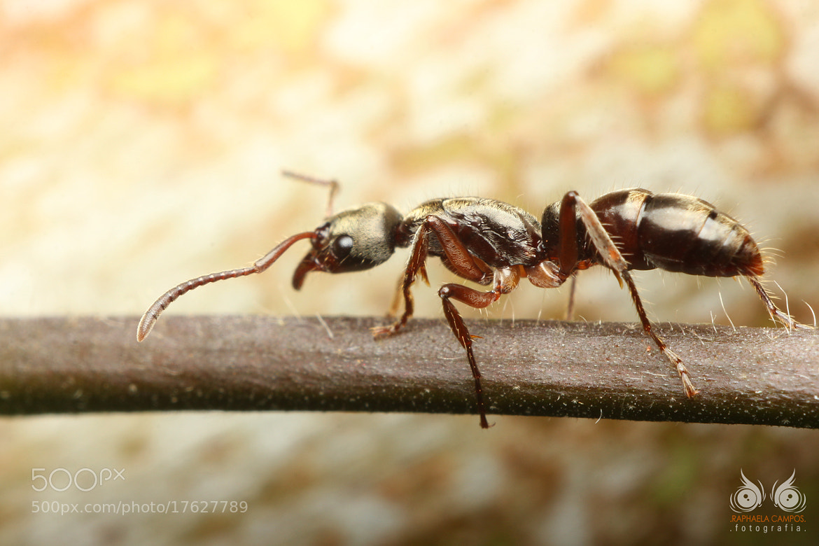 Photograph Ant by Macro Vida on 500px