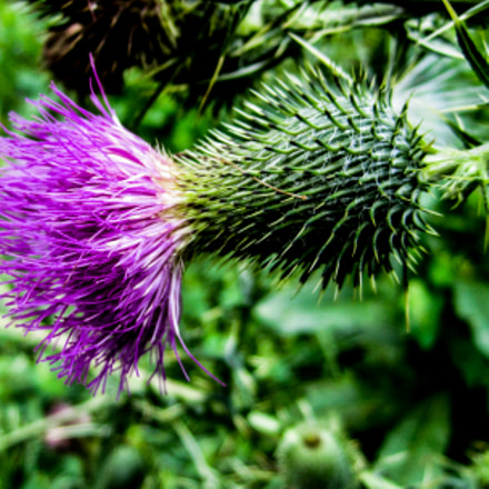Thistle, Canon POWERSHOT SD1400 IS