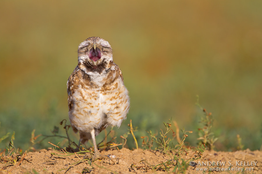 "Photograph ""Singing"" Burrowing Owl by Andrew Kelley on 500px"