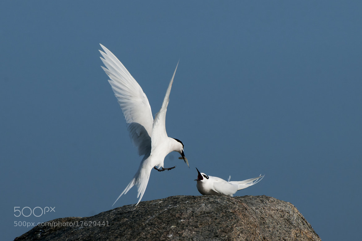 Photograph Black Naped Tern by Allan Seah on 500px