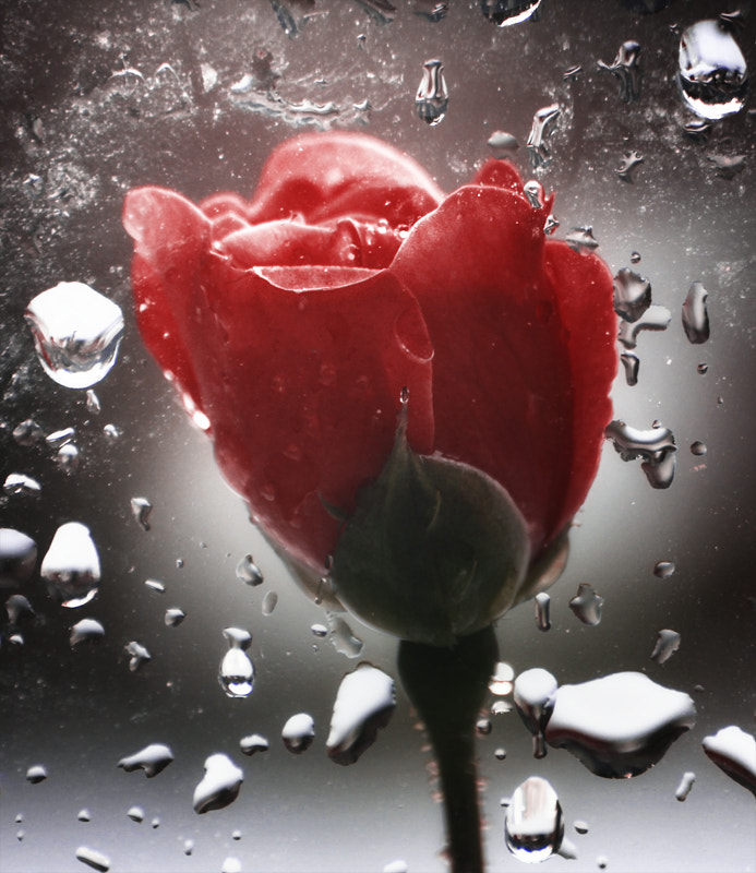 Photograph Rose in the rain by Arief Perdana on 500px