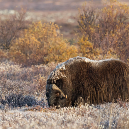 Musk ox in the, Canon EOS-1D X MARK II, Canon EF 300mm f/2.8L IS II USM