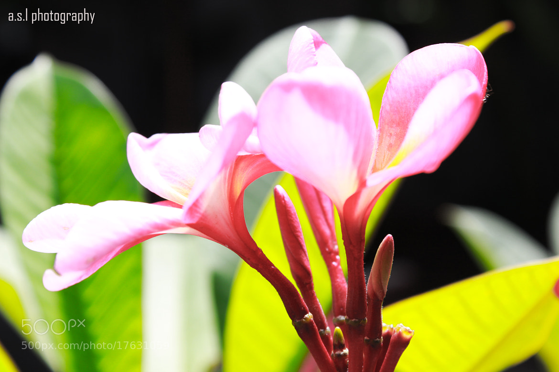 "Photograph ""plumeria acuminata ait"" by Linerdo Lilo on 500px"