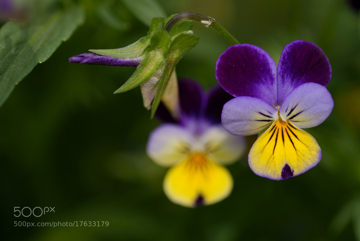 Photograph Heartsease by Lillian Arnold on 500px