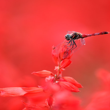 Red Dragonfly, Canon EOS-1D X MARK II, Canon EF 400mm f/2.8L IS II USM