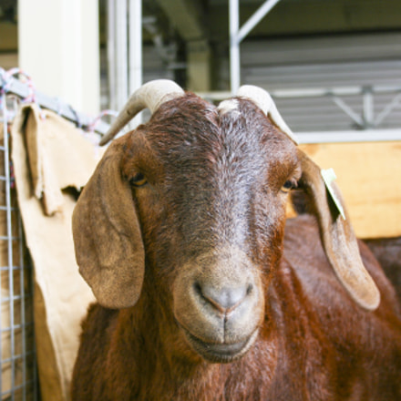 Brown goat face, Canon EOS KISS DIGITAL X, Canon EF-S 18-55mm f/3.5-5.6 USM
