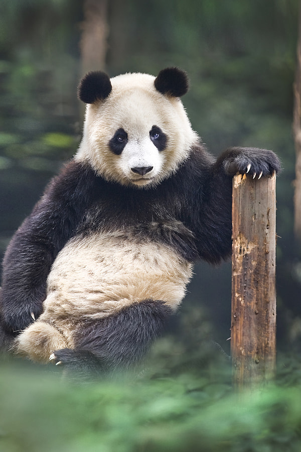 Photograph portrait of a panda by David Hobcote on 500px